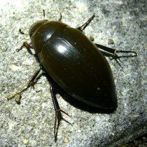 西表島のどうぶつたち・昆虫類 コガタガムシ